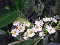Prunus laurocerasus/Kirschlorbeer Otto Luyken als Topfware