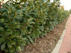 Prunus laurocerasus (Kirschlorbeer) Rotundifolia im Container, 100-125 cm