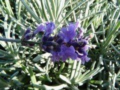 Echter Lavendel Hidcote Blue