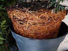 Thuja brabant Lebensbaum (Thuja occ. brabant) im Container, 150-175cm