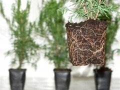 Thuja brabant Lebensbaum (Thuja occ. brabant) im P9 Topf, 30-40cm
