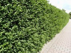 Liguster (Ligustrum vulgare Atrovirens) wurzelnackt, 50-80cm