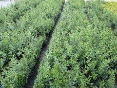 Liguster (Ligustrum vulgare Atrovirens) im Container, 30-60 cm im 1L Topf