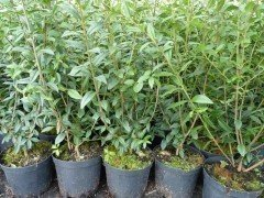 Liguster 'Ligustrum vulgare Atrovirens', im Container