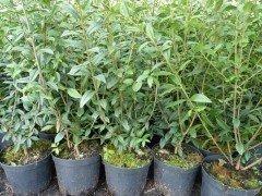 Liguster (Ligustrum vulgare Atrovirens) im Container, 100-120cm