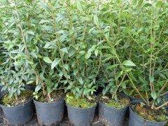 Liguster (Ligustrum vulgare Atrovirens) im Container, 125-150 cm