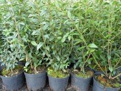 Liguster (Ligustrum vulgare Atrovirens) im 7,5L Container, 150-175 cm