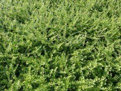 Böschungsmyrthe - Lonicera pileata, 20-30cm, im Container