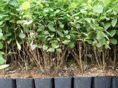 Heckenkirsche (Lonicera xylosteum) im 1L Container