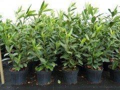 Kirschlorbeer Caucasica (Prunus laurocerasus) im Container, 60-80cm