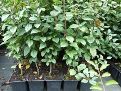 Wildapfel/Holzapfel (Malus sylvestris), 50-80 cm groß im 1L Container