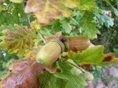 Stieleiche, 'Quercus Robur', 50-80 cm groß im 1L Container