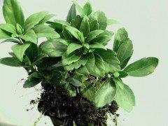 Dickmännchen, Schattengrün (Pachysandra Terminalis green carpet) - nicht verfügbar: Alternative Pachysandra Terminalis