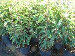 Portugiesischer Kirschlorbeer (Prunus lusitanica 'Angustifolia'), 100-125 cm