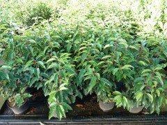 Portugiesischer Kirschlorbeer (Prunus lusitanica 'Angustifolia') im Container, 80-100cm