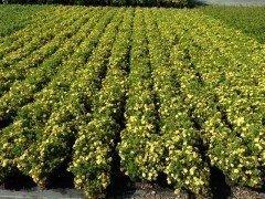 Gelber Fünffingerstrauch, Potentilla fruticosa 'Kobold', 20-30cm