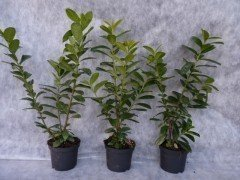 Kirschlorbeer Novita (Prunus laurocerasus) im Container, 80-100cm