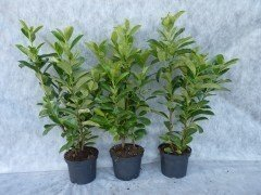 Prunus laurocerasus (Kirschlorbeer) Rotundifolia im Container 60-80 cm