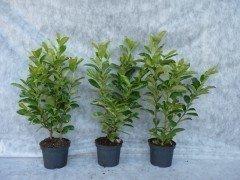 Prunus laurocerasus (Kirschlorbeer) Rotundifolia im Container