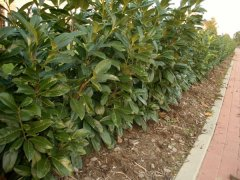 Prunus laurocerasus (Kirschlorbeer) Rotundifolia im Container, 125-150 cm
