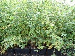 Hundsrose Rosa Canina, 50-80 cm groß im 1L Container
