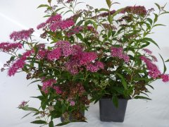 Rote Sommerspiere (Spiraea bumalda 'Anthony Waterer'), 20-30cm
