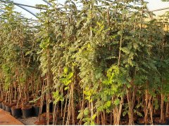 Sorbus domestica (Speierling), Containerpflanzen ab 30 bis 200 cm