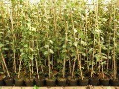 Sorbus Torminalis (Elsbeere), 30-50cm, im Container