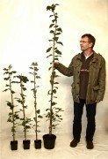 Sorbus Torminalis (Elsbeere), 125-150cm, im Container