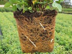 Spiraea decumbens / Zwergspiere, 20-30 cm groß, im 1L Topf