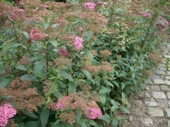 Rote Sommerspiere (Spiraea bumalda 'Anthony Waterer'), 15-30cm