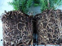 Taxus media hillii (männliche Bechereibe), 100-125 cm groß
