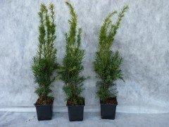 Taxus media hillii (männliche Bechereibe), 40-50cm im C1 Topf