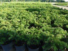 Taxus baccata 'Repandens', 20-30 cm groß, im 1L Container