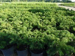 Taxus baccata 'Repandens', 30-40 cm groß, im 3L Container