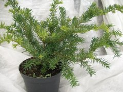 Taxus baccata 'Repandens', 40-50 cm groß, im 3L Container