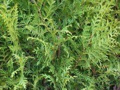 Thuja brabant Lebensbaum (Thuja occ. brabant) im Container, 80-100cm