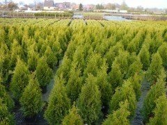 Thuja occidentalis / Lebensbaum smaragd im Container
