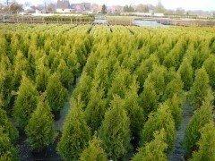 Thuja smaragd Lebensbaum (Thuja occ. smaragd), Topfpflanze, 30-40cm