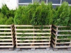Thuja smaragd Lebensbaum (Thuja occ. smaragd)  im 1L Container, 40-60cm