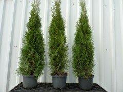 Thuja smaragd Lebensbaum (Thuja occ. smaragd)  im Container, 80-100cm