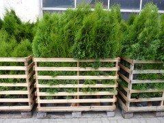 Thuja smaragd Lebensbaum (Thuja occ. smaragd), im 7,5-10L Container, 150-175 cm
