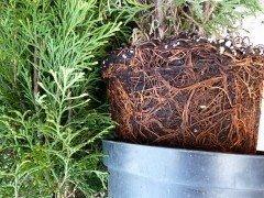 Thuja occidentalis Columna (Lebensbaum), im C1 (1L) Container, 40-60cm groß