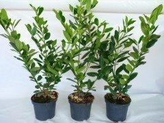 Kirschlorbeer Diana (Prunus laurocerasus Diana), 80-100cm, Container