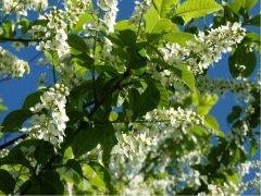 Einheimische Traubenkirsche (Prunus Padus), 50-80 cm groß