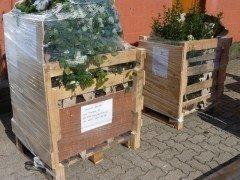 Carpinus betulus/Hainbuche im Container