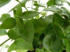 Großes Immergrün (Vinca major)