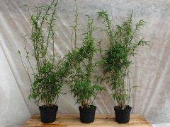 Bambus Fargesia nitida 'Volcano' im Container
