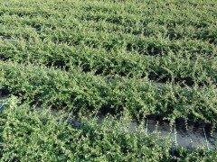 Kriechmispel (Cotoneaster dammeri 'Coral beauty')