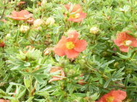 Potentilla Red Ace / Fünffingerstrauch